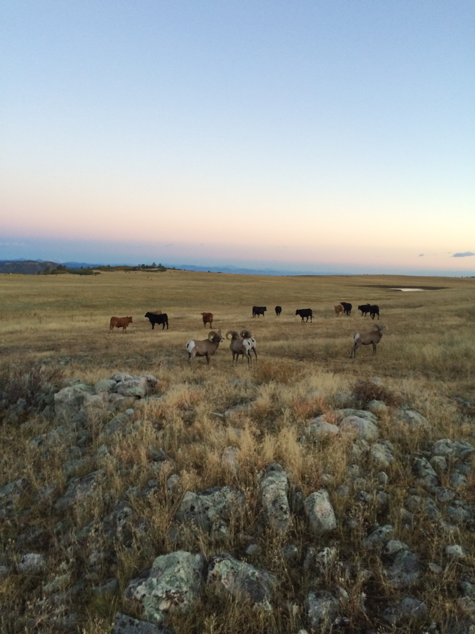 Bighorn graze with cattle 2016
