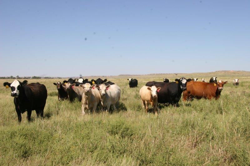 2015 good rains brought fat cows and good calves