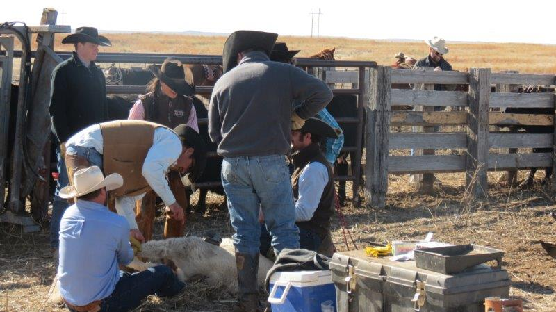 branding and vaccinating calves